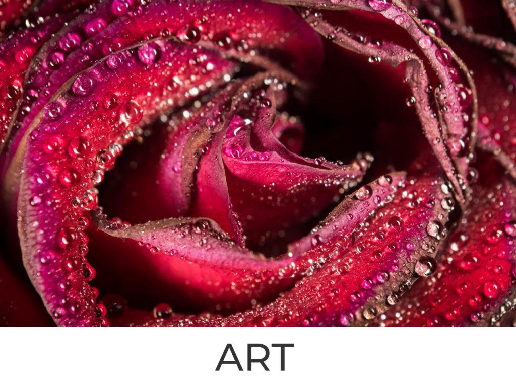 Rosenblüte mit Wassertropfen bedeckt
