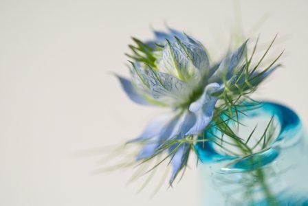blaue blume in glasvase auf weißem hintergrund
